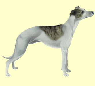 Whippet - manto 9