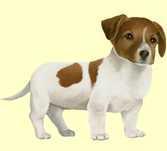 Acoger a un perro de raza jack russell terrier