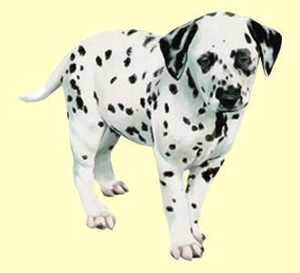 Acoger a un perro de raza dálmata