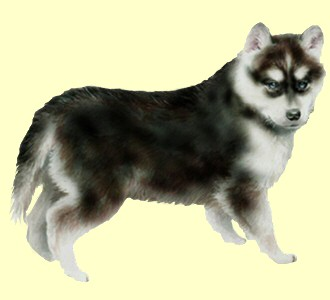 Acoger a un perro de raza husky siberiano