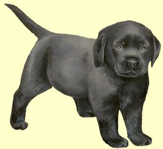 Acoger a un perro de raza labrador